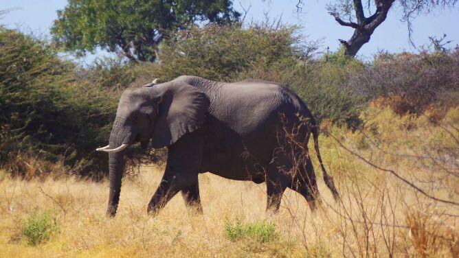 154 martwe słonie w ciągu dwóch miesięcy. Nikt nie wie, co się stało