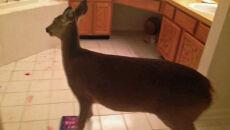 Jeleń wszedł do domu. Pobuszował w kosmetykach