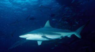 Żarłacz czarnopłetwy często atakuje w pobliżu Florydy